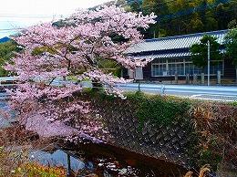 76 4月名もなき桜.jpg