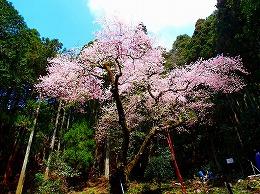 78 4月 虎尾桜.jpg